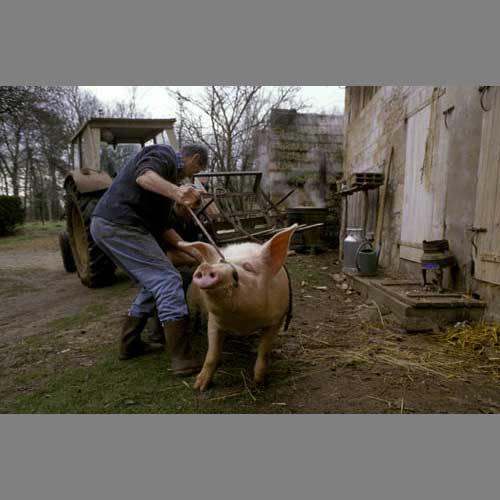 Cochon - © Beatrice Mollaret