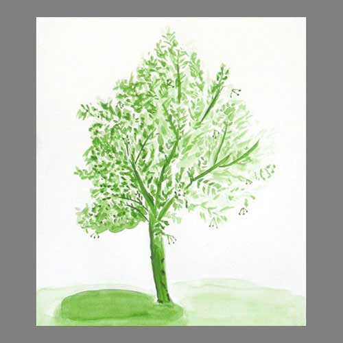 'Lime tree at Béduer' Absolute beginner level watercolour.