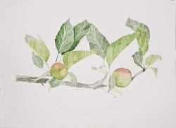 'Apple Branch' by Janette. Watercolour.