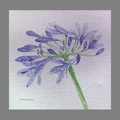'Agapanthus' by janine. Watercolour botanical.