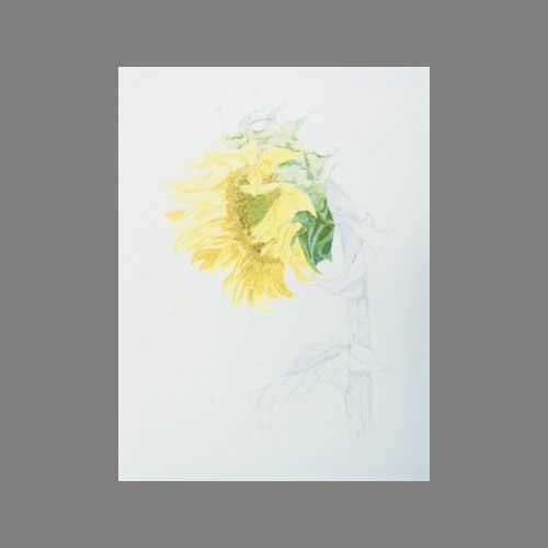 'sunflower' by Janine. Watercolour botanical.
