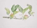 'Apple Branch' by Janette. Watercolour.