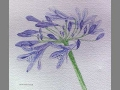 'Agapanthus' by janine. Watercolour botanical.