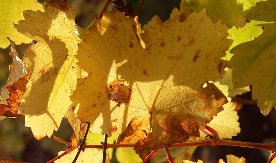 yellow grape vine wine leaves closeup