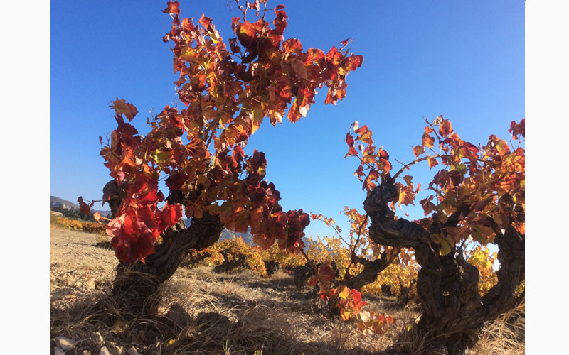 red provencal vines south france cepage autumn colours