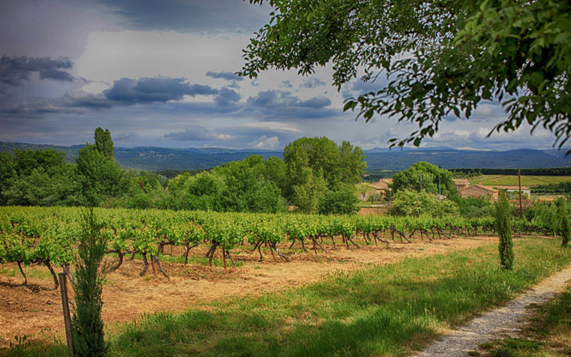 vines stormy sky cypresses