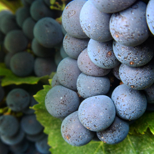 grapes blue
