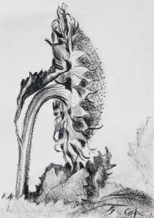 Sunflower, side view, botanical,conté,sepals,